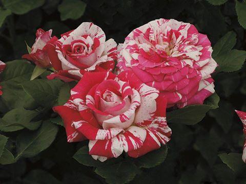 Gül Rosa